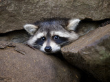Raccoon Inbetween Rocks
