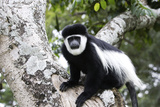 Western Black and White Colobus Monkey  King Colobus Monkey