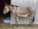 Zedonk' Zebra-Donkey Hybrid