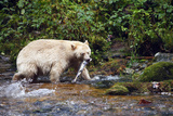 Spirit Bear Hunting for Sockeye Salmon