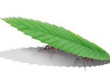 Ants Carrying Leaf