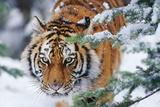 Siberian Amur Tiger Close-Up of Face