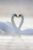 Mute Swans Pair in Courtship Behaviour