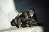 Pygmy Chimpanzees Copulating  Male on Top