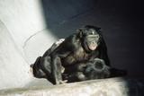 Pygmy Chimpanzees Copulating  Male on Top