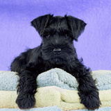 Miniature Schnauzer 10 Week Old Puppy
