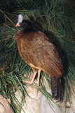 Northern Helmeted Curassow Rare Red Phase