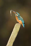 Kingfisher Adult Female Adjusting Minnow In