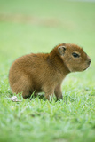Capybara Baby  on Grass