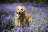 Golden Retriever Standing in Bluebells