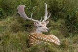 Fallow Deer Male in Velvet Resting in Undergrowth