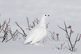 White-Tailed Ptarmigan Male in Snow