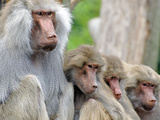 Sacred Baboon Male with His Harem