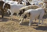 Anatolian Shepherd Dogs Walking with Goats