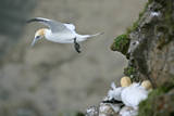Gannet in Flight Departing from Breeding Colony