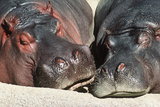 River Hippopotamus  Two Sleeping Together