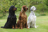Irish Setter Sitting Between Gordon Setter