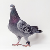 Homing Pigeon in Studio
