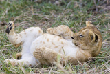 Lion 10 Week Old Cub Resting with Full Belly