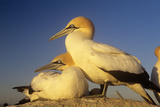 Cape Gannet Pair  One Standing One Lying-Down