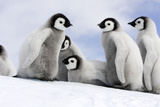 Emperor Penguin Group of Chicks