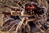 Tarantula  Baboon Spider