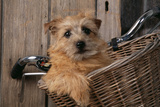 Border Terrier in Bicycle Basket