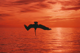 Brown Pelican Diving for Fish  Sunset