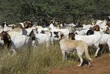 Anatolian Shepherd Dog with Herd of Goats