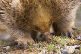 Short-Beaked Echidna Adult Digging in the Ground