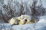 Polar Bear Adult Lying Down with Cubs  Both