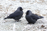 Jackdaws in the Frost