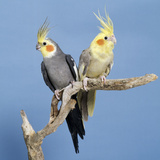 Cockatiel Birds  Two Perched on Branch