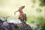 Hoopoe with Grub in Beak