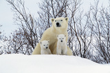 Polar Bear and Cubs X Two Sitting