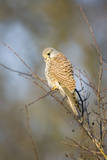 Common Kestrel Adult Female Perched