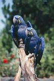Hyacinth Macaws Pair on Perch