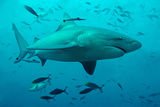Bull Shark Female