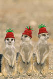 Meerkat Wearing Woolly Christmas Hats