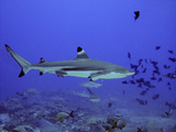 Blacktip Reef Shark Swimming Through Fish