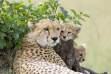 Cheetah Mother and 8-9 Week Old Cubs
