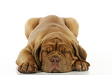 Dogue De Bordeaux Puppy Lying Down