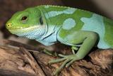 Fiji Banded Iguana Male