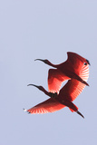 Scarlet Ibis Two in Flight