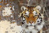 Amur Tiger in Winter Snow