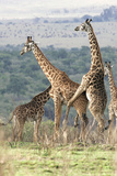 Reticulated Giraffe Two Mating