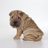 Shar Pei Puppy  Side-View