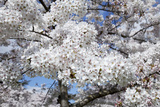 Japanese Cherry Trees in Full Spring Blossom