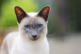 Blue Point Siamese Cat Standing in the Garden