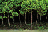 Bonsai Spruce Forest Trunks Yose-Ue Style  12